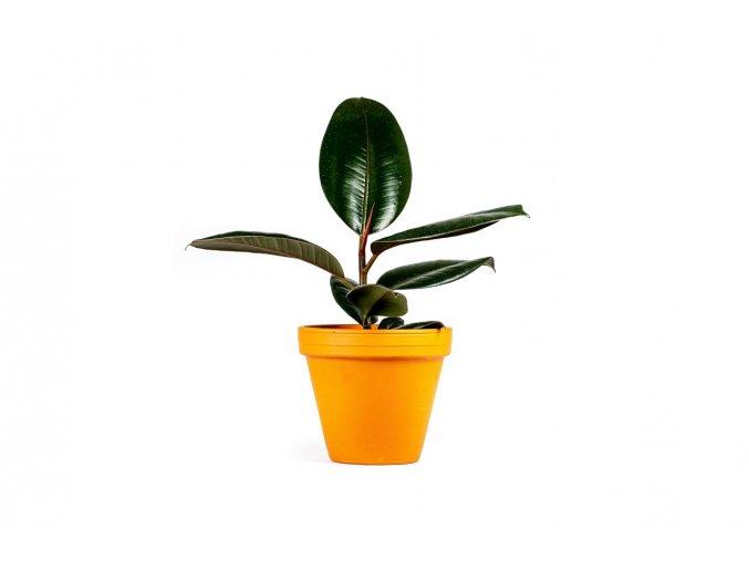 Gardners.cz Ficus elastica Abidjan