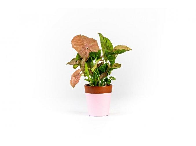 Gardners.cz Syngonium Pink