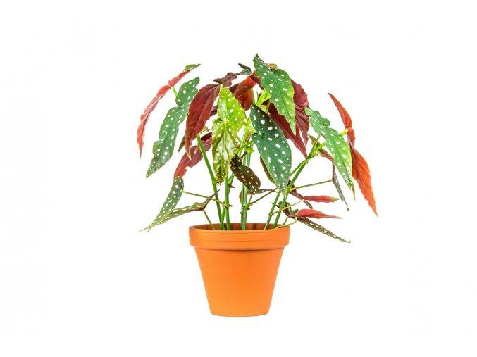 Gardners.cz Begonia Maculata
