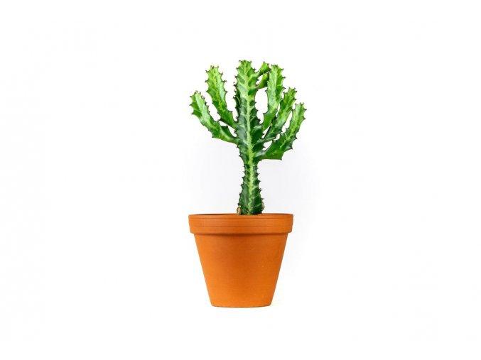 Euphorbia lactea, průměr 10cm