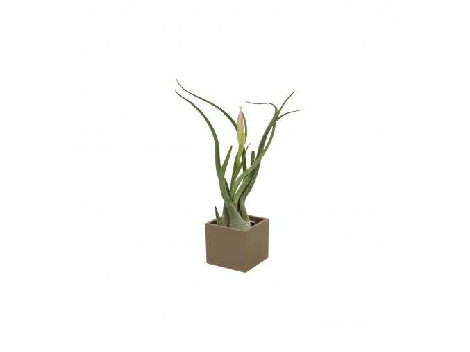 Gardners.cz Set magnetického květináče CUBE 3,5cm s Tillandsia Caput Medusae, hnědá