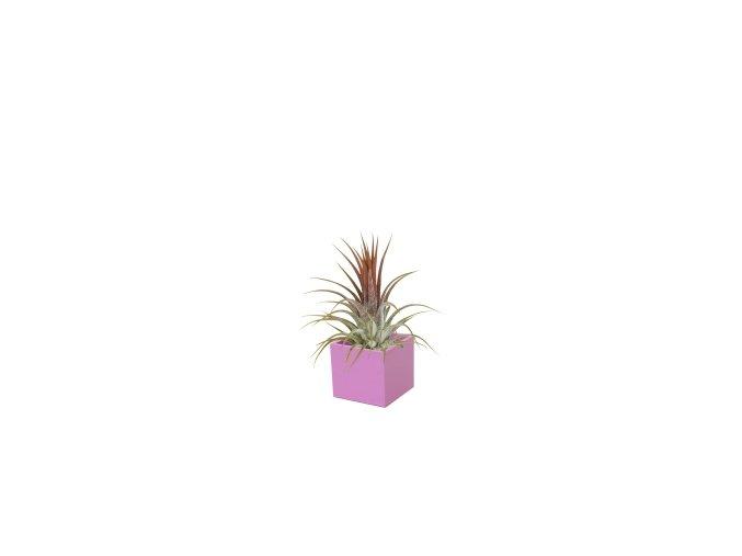 Set magnetického květináče CUBE 3,5cm s Tillandsia Ionantha, fialovorůžová
