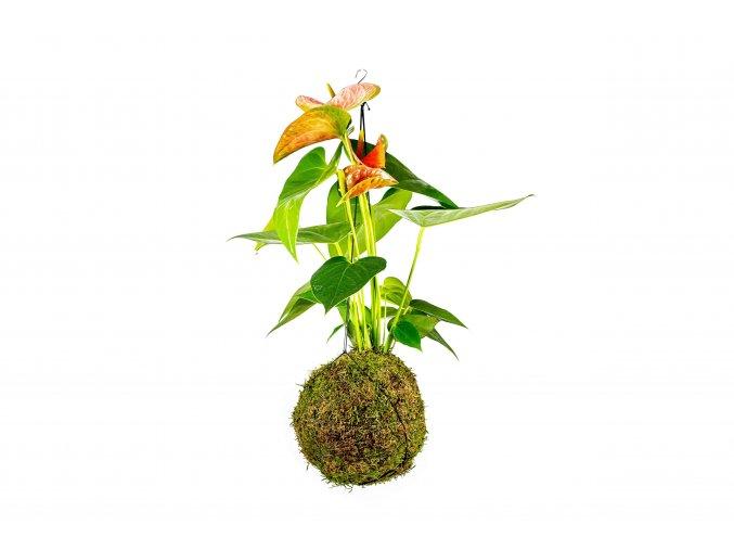 gardners.cz kokedama Anthurium oranžová (1)