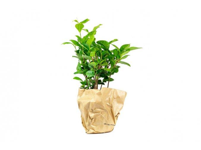 Gardners.cz Camellia sinensis (Čajovník) 1