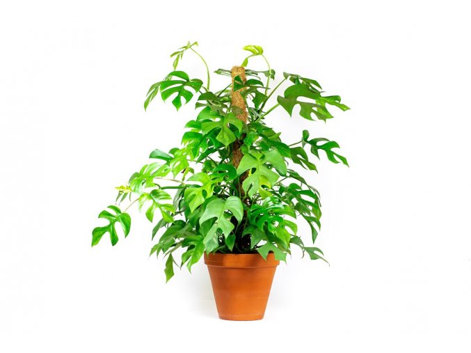 Gardners.cz Philodendron minimal