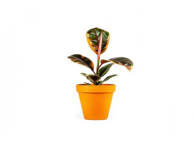 Gardners.cz Ficus elastica Belize5