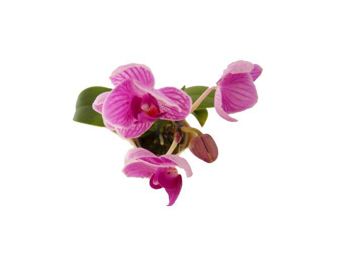 Phaleonopsis mini, průměr 6cm
