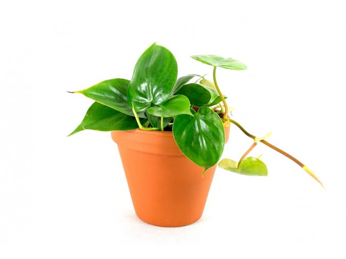 Gardners.cz Philodendron
