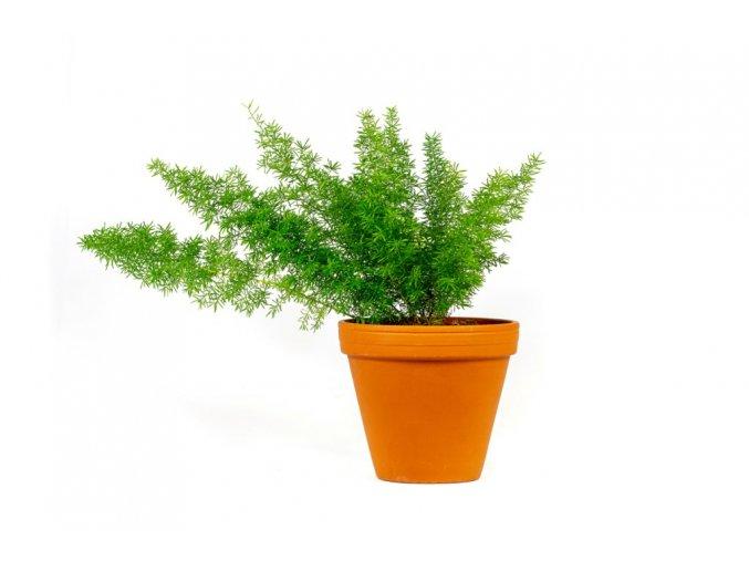 Gardners.cz Asparagus densiflorus