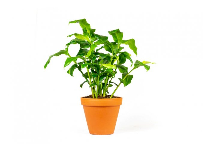 Gardners.cz Elettaria cardamomum