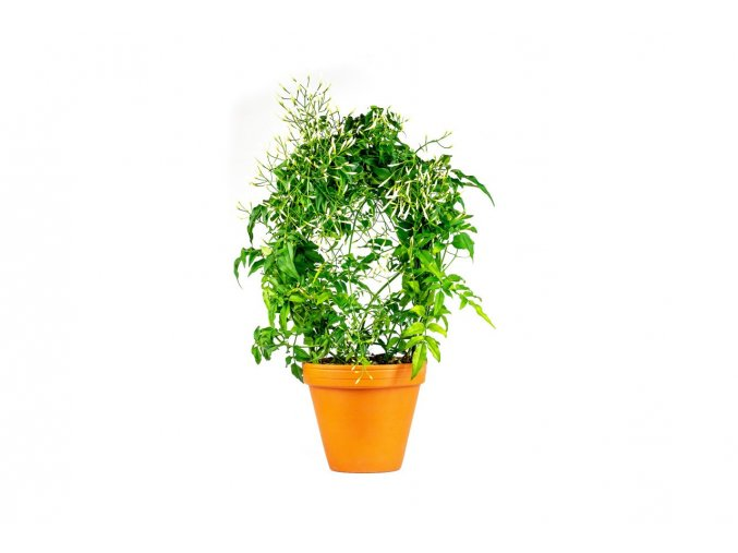 Gardners.cz Jasminum polyantum