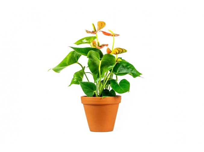 Gardners.cz Anthurium oranžová