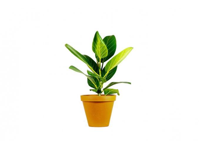 Gardners.cz Ficus benghalensis Audrey