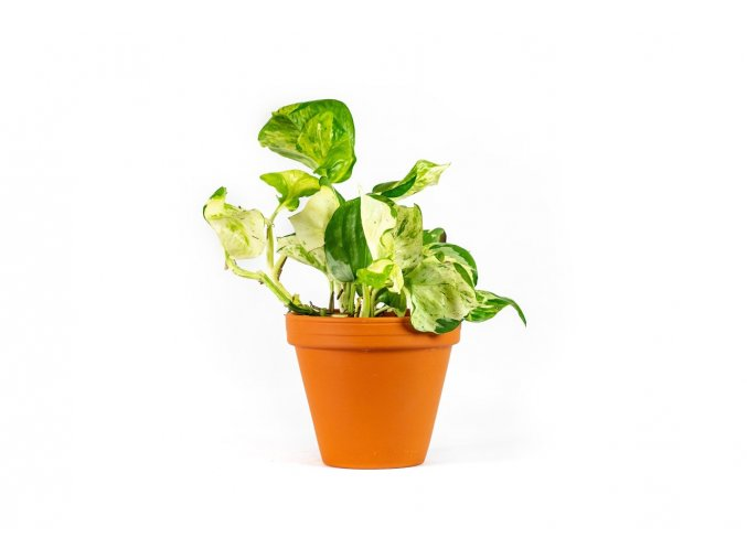 Gardners.cz Epipremnum happy leaf