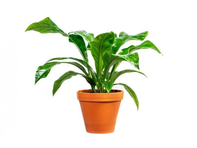 Gardners.cz Anthurium jungle bush