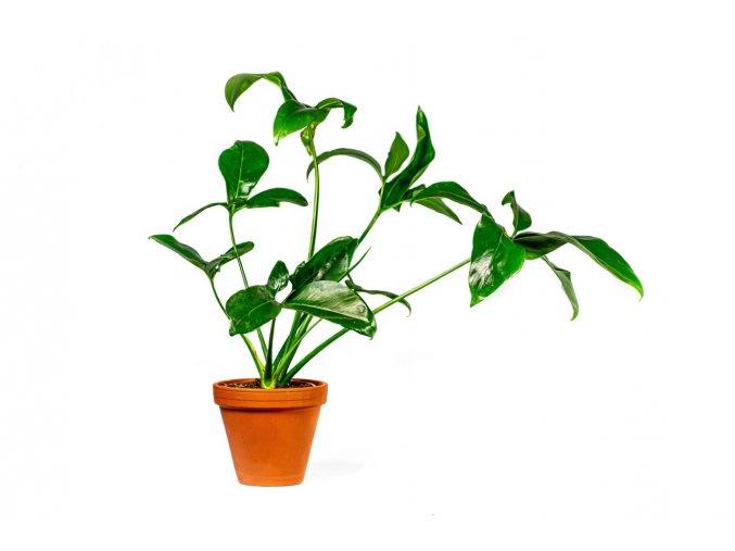 Philodendron green wonder, průměr 24 cm  Filodendron