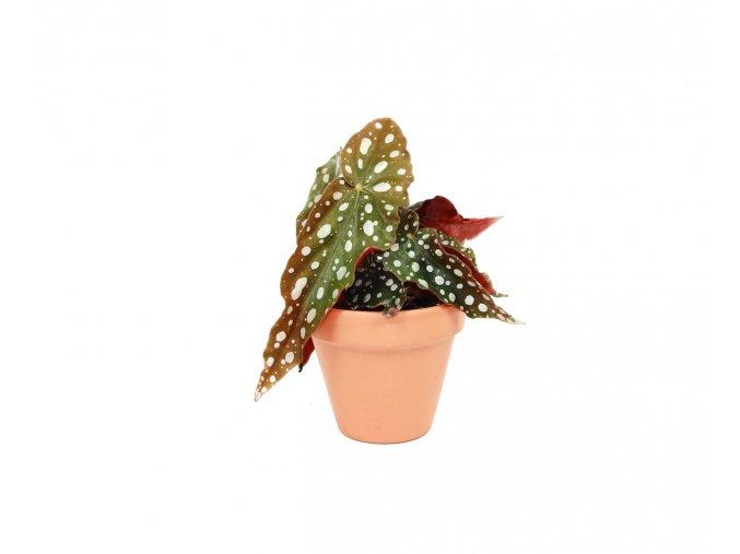 Gardners.cz Begonia Maculata, průměr 6 7 cm