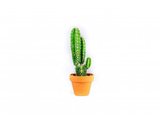 Gardners.cz Cereus peruvianus mix, průměr 6 cm