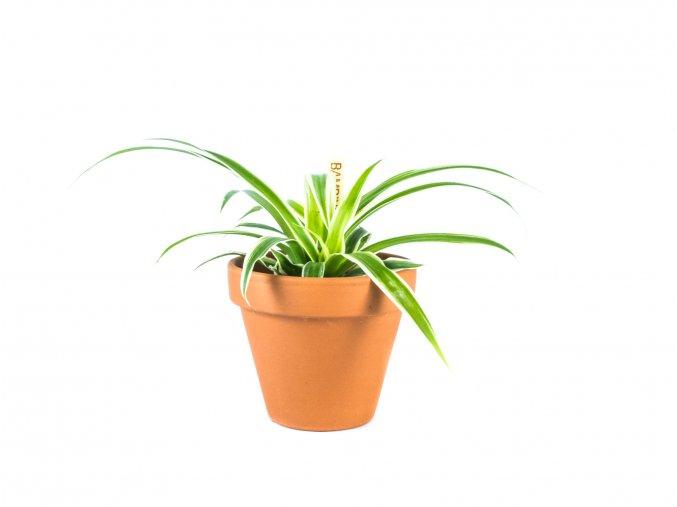 Gardners.cz Chlorophytum, průměr 6cm