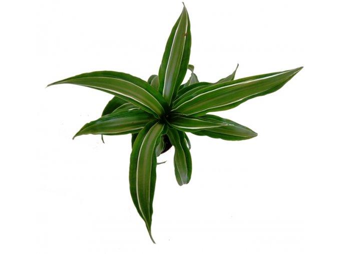 Dracaena fragrans, průměr 6cm