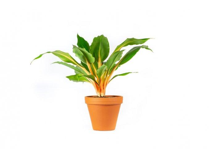 Gardners.cz Chlorophytum Green Orange, průměr 12 cm