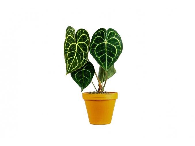Gardners.cz Anthurium clarinervium