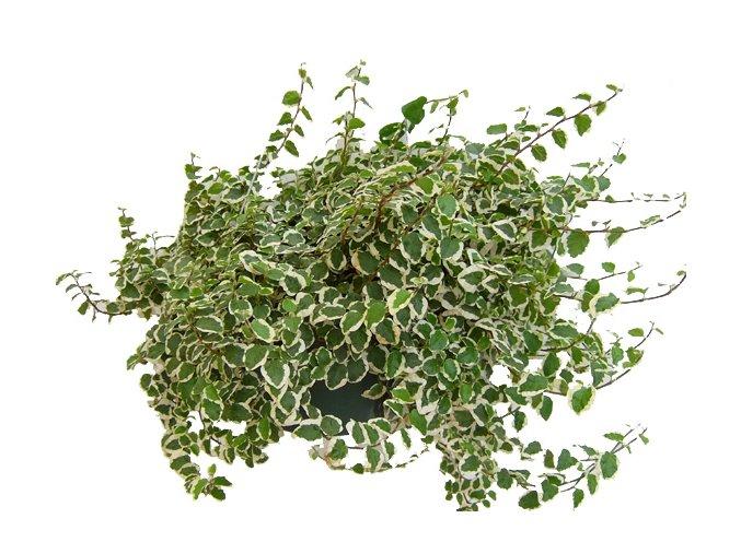 Ficus pumila mix