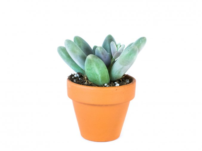 Gardners.cz Pachyphytum Ganzhou, průměr 6 cm