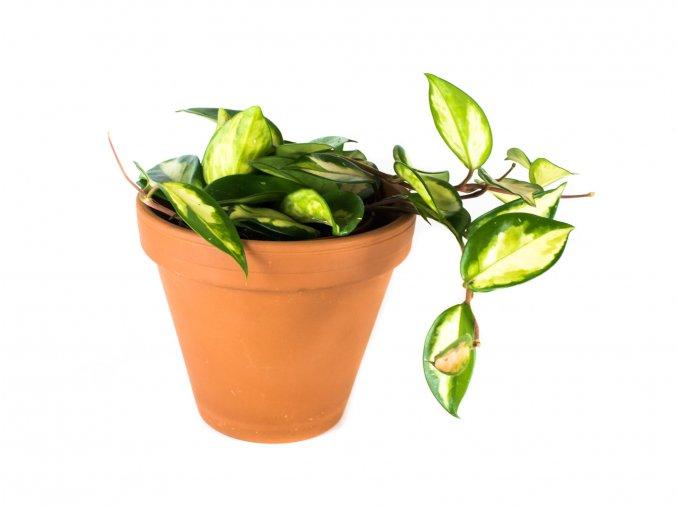 Gardners.cz Hoya carnosa tricolor, průměr 12 cm