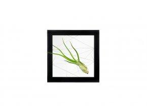Gardners.cz Obraz z živých rostlin Jogín 1 tillandsie, 22x22cm, černá