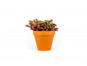 Gardners.cz Peperomia Graveolens 10,5 cm