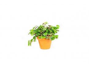 Gardners.cz Tradescantia Zebrina (pink joy), průměr 10cm (1)