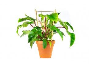 Gardners.cz Philodendron squamiferum