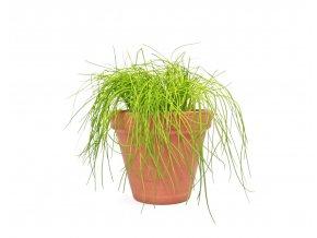 Gardners.cz Allium Pažitka, průměr 14 cm