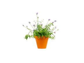 Gardners.cz Lavandula angustifolia Levandule lékařská, průměr 11 cm