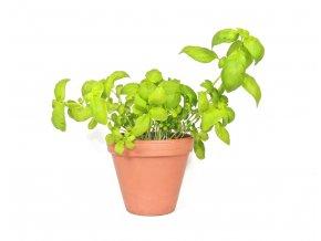Gardners.cz Ocimum basilicum Bazalka, průměr 11 cm