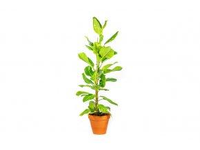 Gardners.cz Ficus elastica Altissima Variegata