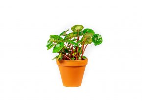 Gardners.cz Begonia Red Ruby, průměr 12 cm