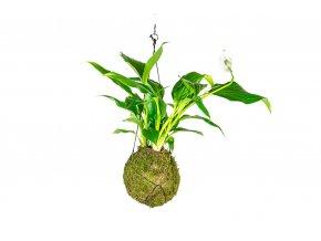 gardners.cz kokedama Spathiphyllum