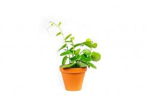 Gardners.cz Cissus rotundifolia, průměr 12 cm