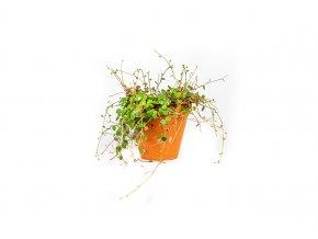 Gardners.cz Peperomia Pepperspot, průměr 12 cm