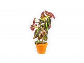 Gardners.cz Begonia Angel Wings, průměr 13 cm