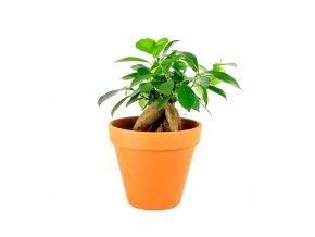 Gardners.cz Ficus microcarpa ginseng 3