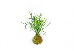 Gardners.cz Kokedama Euphorbia tirucalli