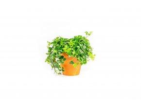 Gardners.cz Parthenocissus Inserta, průměr 12 cm