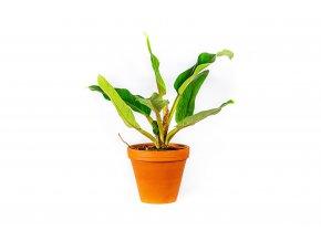 Gardners.cz Philodendron Congo, průměr 19 cm