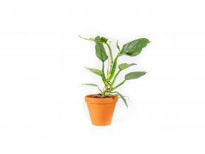 Gardners.cz Philodendron Silver Queen, průměr 14 cm