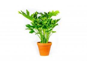 Gardners.cz Philodendron Selloum Hope, průměr 19 cm