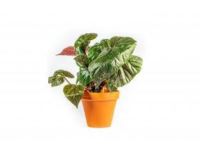 Gardners.cz Begonia Oldemore, průměr 15 cm
