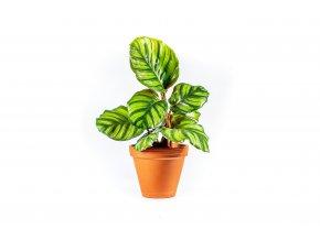 Gardners.cz Calathea Fasciata, průměr 12 cm